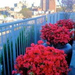 Azaleas Nyc for Contemporary Deck with Container Plants