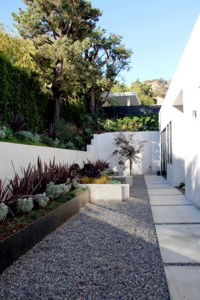 Ficus Nitida for Modern Landscape with Concrete Wall