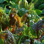 Growing Swiss Chard for Traditional Landscape with Garden