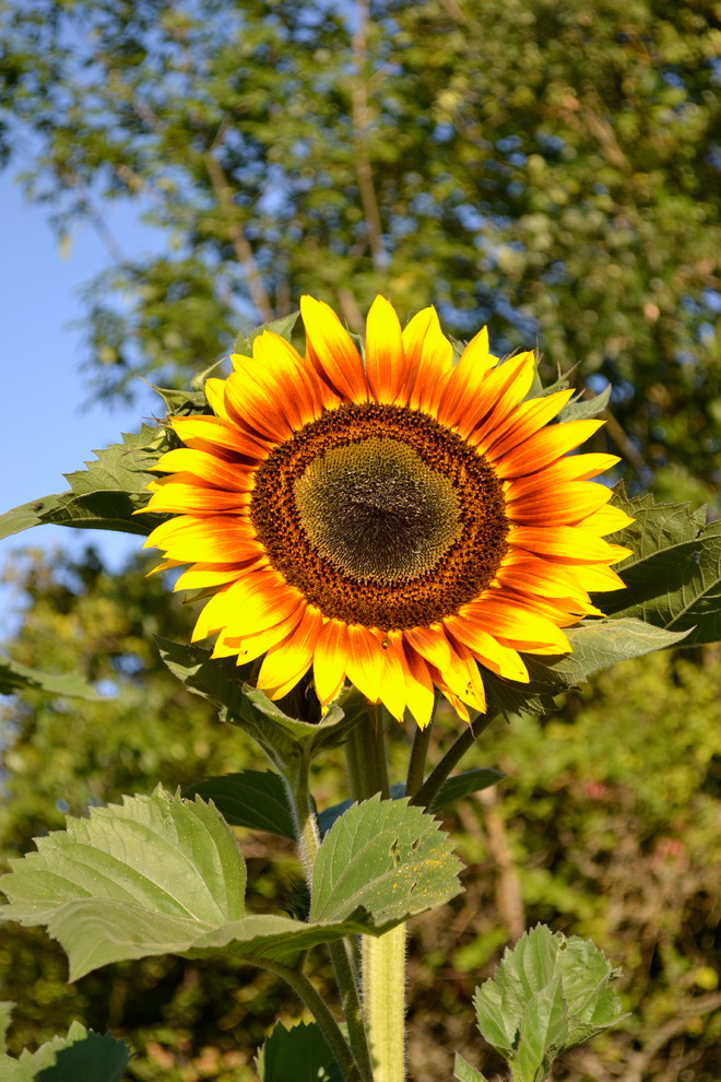 How to Grow Sunflowers for Traditional Landscape with Helianthus Major