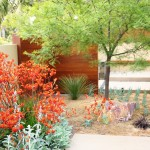 Kangaroo Paw Plant for Contemporary Landscape with Boulder