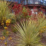 Kangaroo Paw Plant for Mediterranean Landscape with Planting Area
