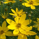 Lowes State College for Rustic Landscape with Coreopsis Zagreb